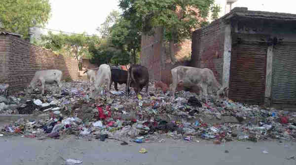 Starved cows eating household hazardous waste near a housing colony of New Delhi in India. Dirty scenes like this are common in the national capital. Photo: Rakesh Raman. Click the photo for details.
