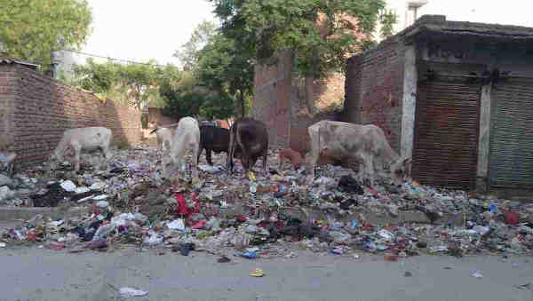 Starved cows eating household hazardous waste near a housing colony of New Delhi in India. Scenes like this are common in the national capital. This shows that Modi's Clean India project is a complete failure. Photo: Rakesh Raman
